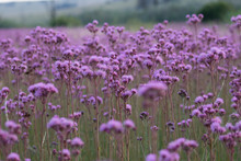 Field Of Pompom Weed