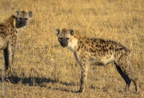 In de dag Hyena Hyänen