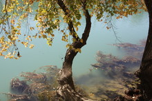 A Curved Tree With Green And Yellow Leaves Over Water Of A River With Slime In It