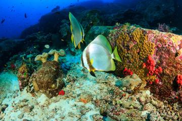 Naklejka na ściany i meble Large Batfish floating around a deep water tropical coral reef in Thailand