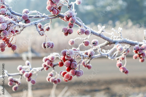 Obraz Frosted hawthorn berries in the garden. - fototapety do salonu