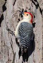 Red-bellied Woodpecker (Melane...