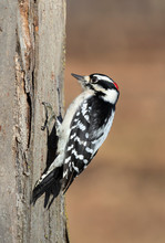 Downy Woodpecker (Dryobates Pubescens) Male Feeding On A Tree Trunk, Iowa, USA