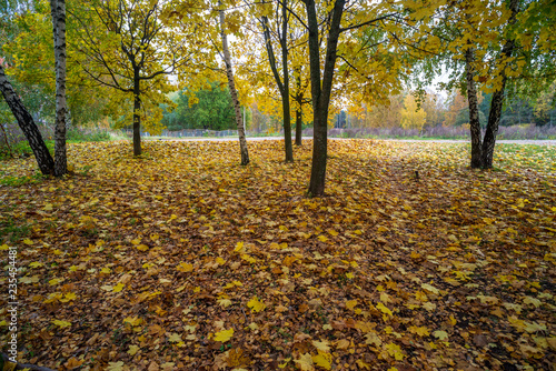 Foto op Canvas Herfst beautiful birch tree trunks, branches and leaves in natural environment