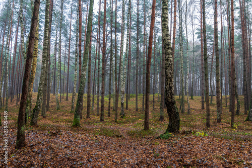 Foto auf Acrylglas Wald im Nebel beautiful birch tree trunks, branches and leaves in natural environment