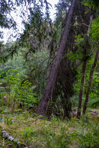 Deurstickers Aubergine evergreen forest with spruce and pine tree under branches