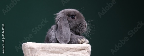 Photo Beautiful little grey rabbit in front of a colored background