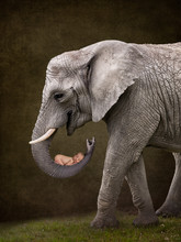 Elephant Holding A Newborn Bab...