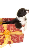 Begging Christmas Puppy In A Gift