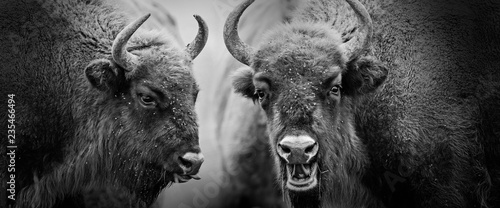 Spoed Fotobehang Buffel european bisons close up