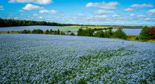 Flax Flowers. Flax Field, Flax Blooming, Flax Agricultural Cultivation.