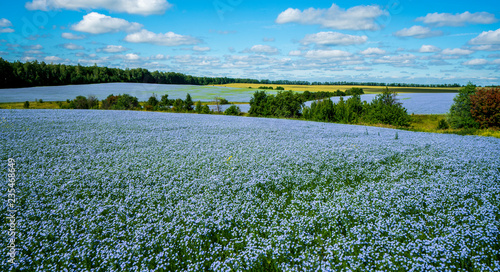 Obraz Flax flowers. Flax field, flax blooming, flax agricultural cultivation. - fototapety do salonu