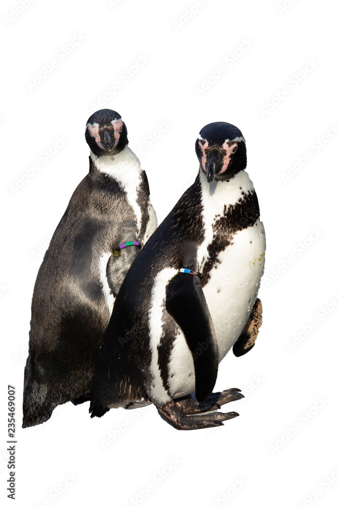 group of penguins isolated