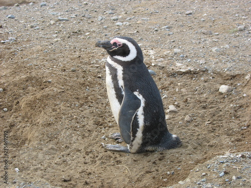 Fotografie, Obraz  Pingüino en Isla Magdalena
