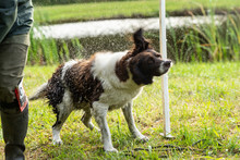 Dutch Partridge Dog, Drentse Patrijs Hond, Shaking To Get Rid Of Water In His Fur With Water Splashing Everywhere In The Sunlight