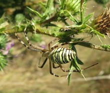 Big Spider On A Carduus Plants
