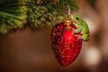 European Green Tree Frog, Hyla...