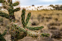 Close Up Shot Of Cylindropuntia Imbricata Growing In White Sands National Monument In New Mexico, USA