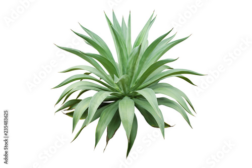 Poster Vegetal Agave Plant Isolated on White Background