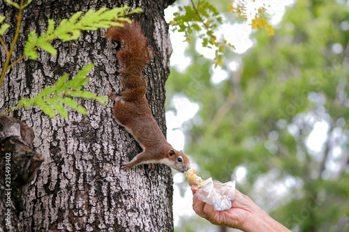 Photo  Close-up a hands of thai asian old man who was sending bread to give a squirrel on a tree in public park on the morning