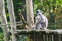 Vervet Monkey Mother With Child Monkey