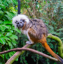 Cotton Top Tamarin Monkey A Ra...