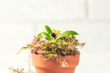 Beautiful Rare Mini Orchid In ...
