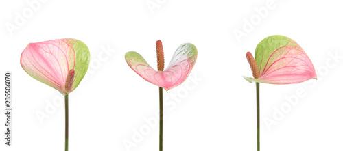 Photo Fleurs d'anthurium blanc et rouge
