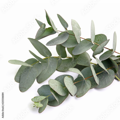 Feuilles d'eucalyptus gunnii