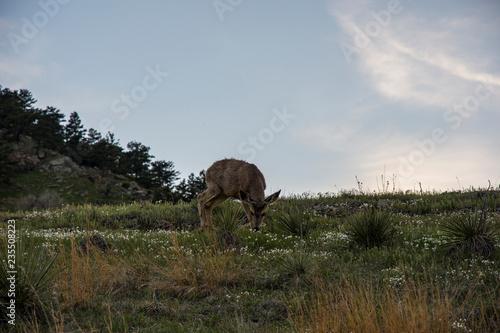 Photo  deer in nature