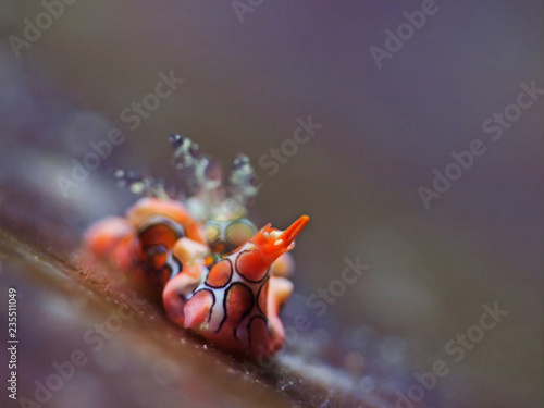 Psychedelic Batwing Slug, Psychedelische Fledermausschnecke (Sagaminopteron psychedelicum)