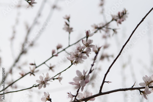 Kirschblüte Obraz na płótnie