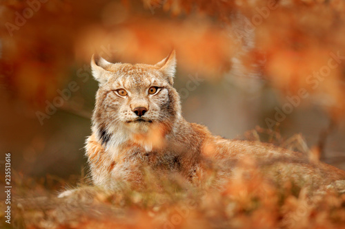 Lynx in orange autumn forest Wallpaper Mural