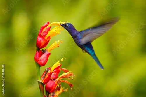 Big blue hummingbird Violet Sabrewing flying next to beautiful red flower with clear green forest nature in background Poster Mural XXL