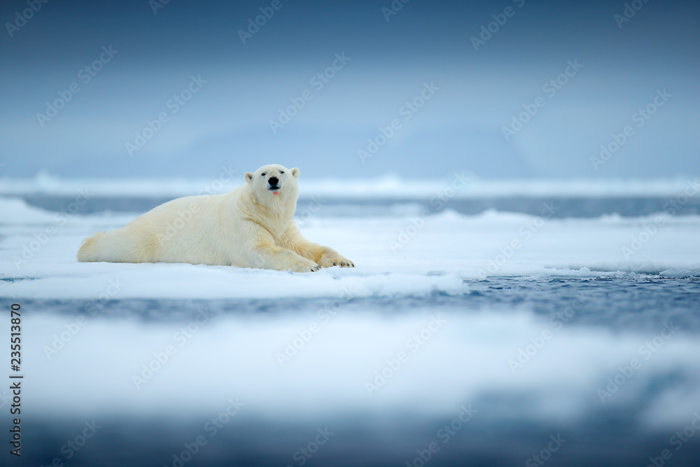 Polar bear on drift ice edge with snow and water in sea. White animal in the nature habitat, north Europe, Svalbard, Norway. Wildlife scene from nature.