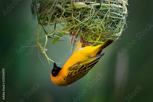 Obraz na płótnie African southern masked weaver, Ploceus velatus, build the green grass nest