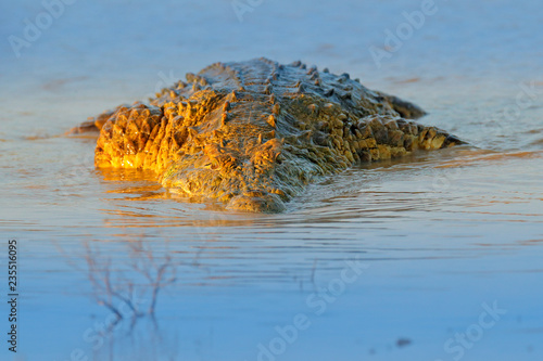 Nile crocodile, Crocodylus niloticus, with open muzzle, in the river bank, Okavango delta, Moremi, Botswana. Wildlife scene  from African nature.  Crocodile with beautiful evening light.