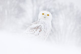 Śnieżny sowy obsiadanie na śniegu w siedlisku. Zimna zima z białym ptakiem. Scena przyrody z natury, Manitoba, Kanada. Sowa na białej łące, zachowanie zwierząt. - 235518499