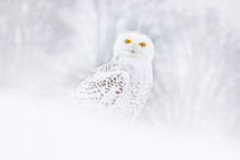 Snowy Owl Sitting On The Snow ...