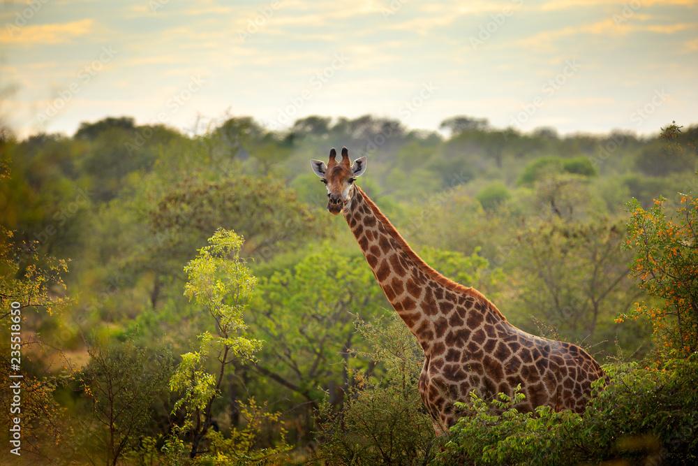 Giraffe and morning sunrise. Green vegetation with animal portrait. Wildlife scene from nature. Orange light in the forest, Okavango, Botswana, Africa.