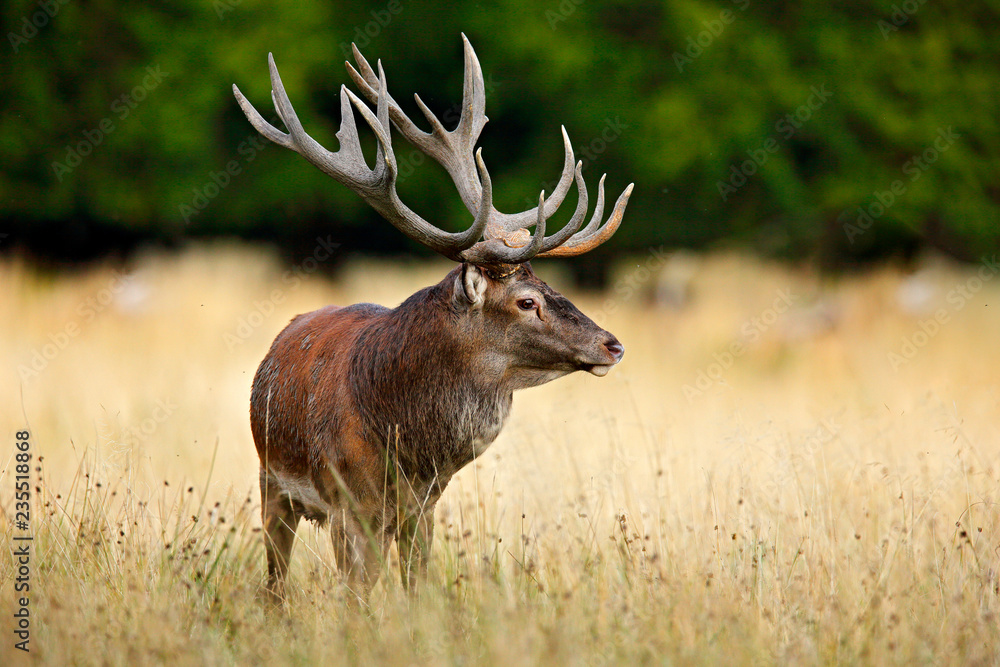Red deer stag, majestic powerful adult animal outside autumn forest. Big animal in the nature forest habitat, Denmark. Wildlife scene form nature.