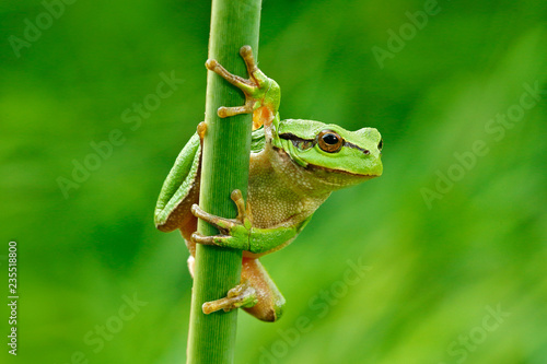 Foto op Canvas Kikker European tree frog, Hyla arborea, sitting on grass straw with clear green background. Nice green amphibian in nature habitat. Wild frog on meadow near the river, habitat.