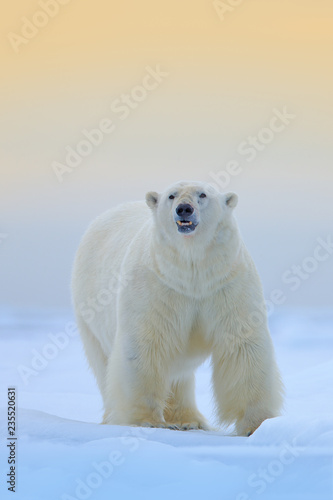 Polar bear on the ice and snow in Svalbard, dangerous looking beast from Arctic nature. Wildlife scene from nature.
