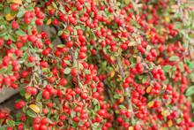 Rote Früchte Der Zwergmispel ...