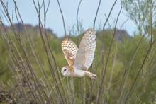 Barn Owl In Flight Across The ...