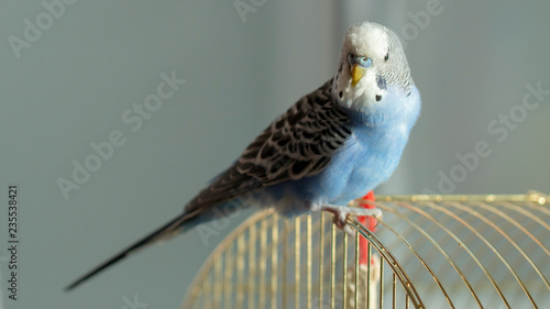 A blue wavy parrot sits on a cage