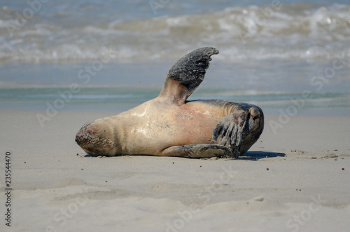 Photo  Seals on Kangaroo Island Australia