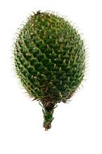 Norfolk Island Pine Cone