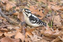 Downy Woodpecker (Dryobates Pubescens) Female Male Feeding On A Tree Trunk, Iowa, USA