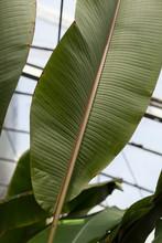 Large Ficus Leaf